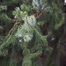 Image of Serbian Spruce