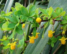 Image of <i>Berberis rotundifolia</i> Poepp. & Endl.