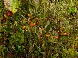 Image of <i>Maxillaria jamesonii</i>