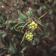 Image of <i>Berberis chilensis</i> Gill.