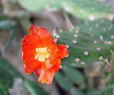 Image of <i>Opuntia macbridei</i>