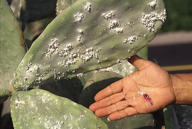 Image of <i>Dactylopius coccus</i> Costa 1829