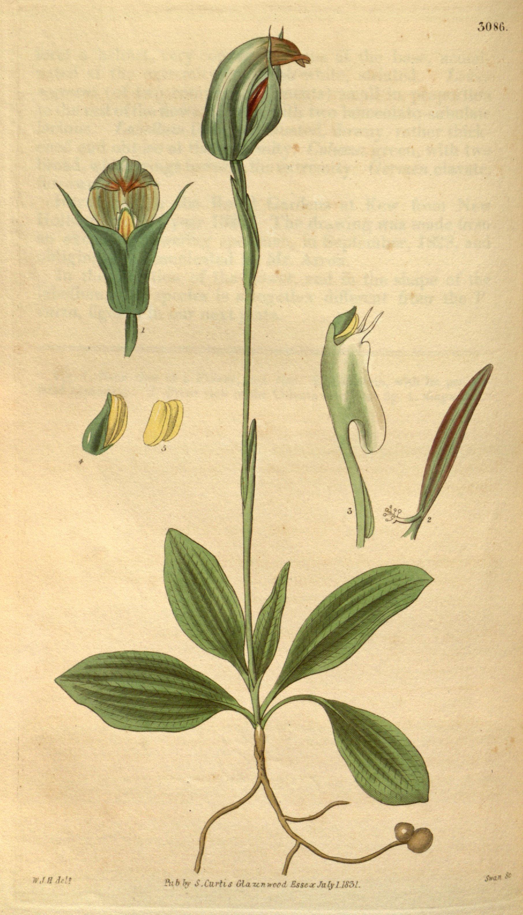 Image of Blunt greenhood