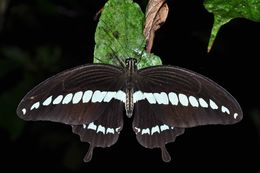 Image of Cream-banded swallowtail