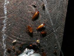 Image of <i>Symploce cavernicola</i>