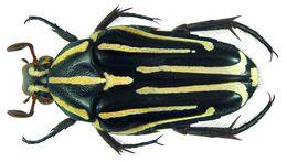 Image of <i>Ixorida</i> (<i>Mecinonota</i>) <i>venerea</i> (Thomson 1857)