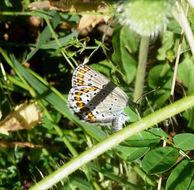 Image of <i>Plebejus lilacina-rufolunalata-casaicus</i> (Tutt)