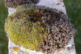 Image of pulvinate dry rock moss