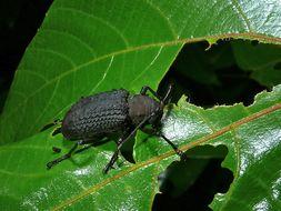 Image of <i>Trachystola granulata</i> Pascoe 1862