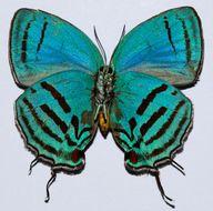 Image of <i>Evenus floralia</i>