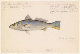 Image of Smooth weakfish