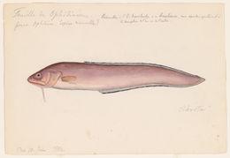 Image of blackedge cusk-eel
