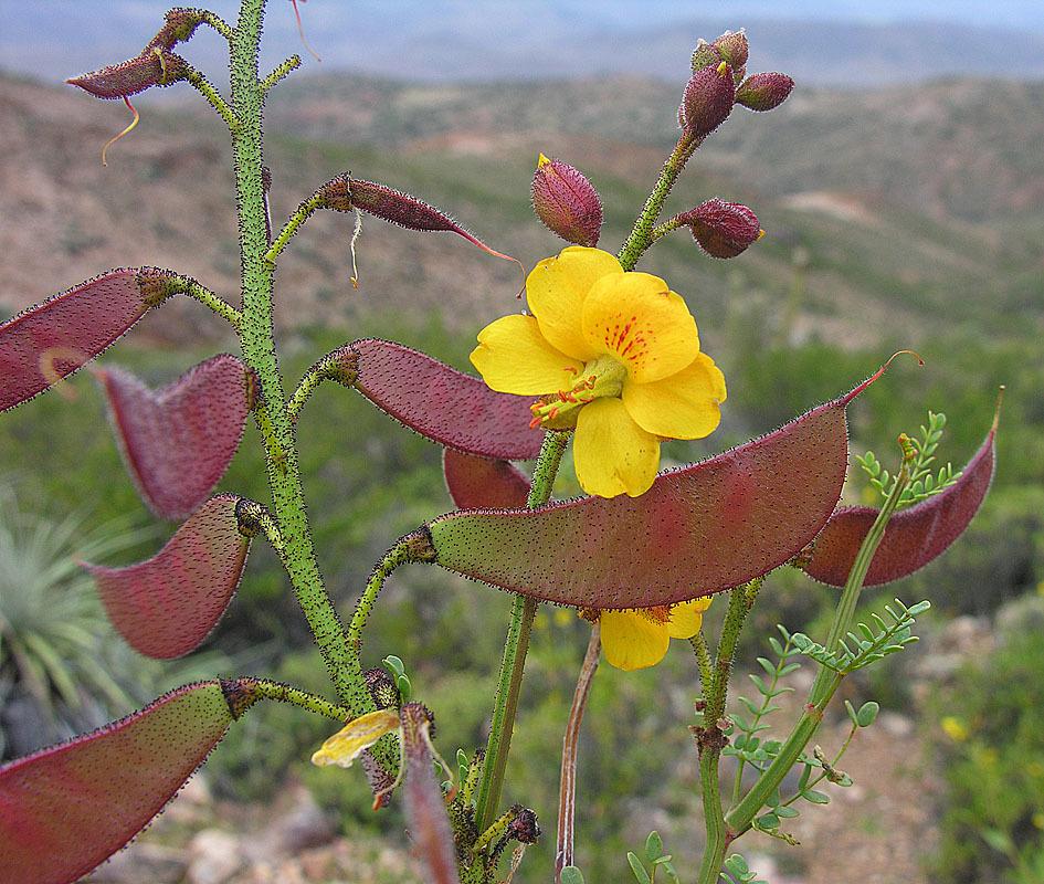 Image of <i>Caesalpinia angulata</i> (Hook. & Arn.) Baill.