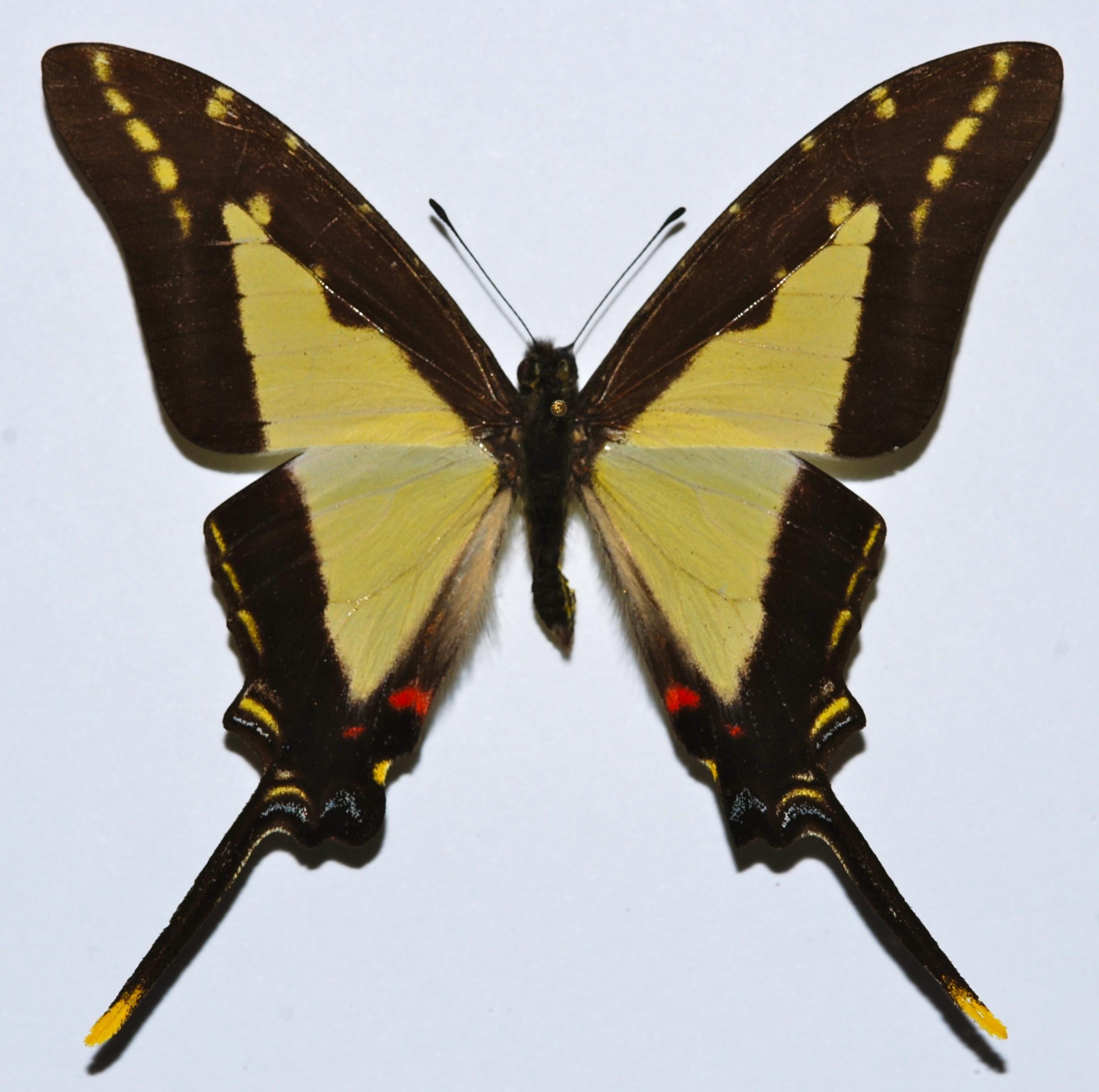 Image of <i>Protographium dioxippus lacandones</i>