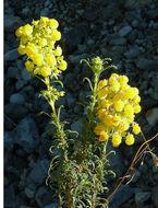 Image of <i>Calceolaria thyrsiflora</i> R. Grah.
