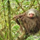 Image of Bolivian Three-toed Sloth