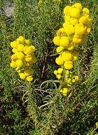 Image of <i>Calceolaria hypericina</i> Poepp. ex Benth.