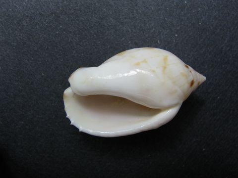 Image of <i>Casmaria erinaceus</i> ssp. <i>kalosmodix</i> (Melvill 1883)