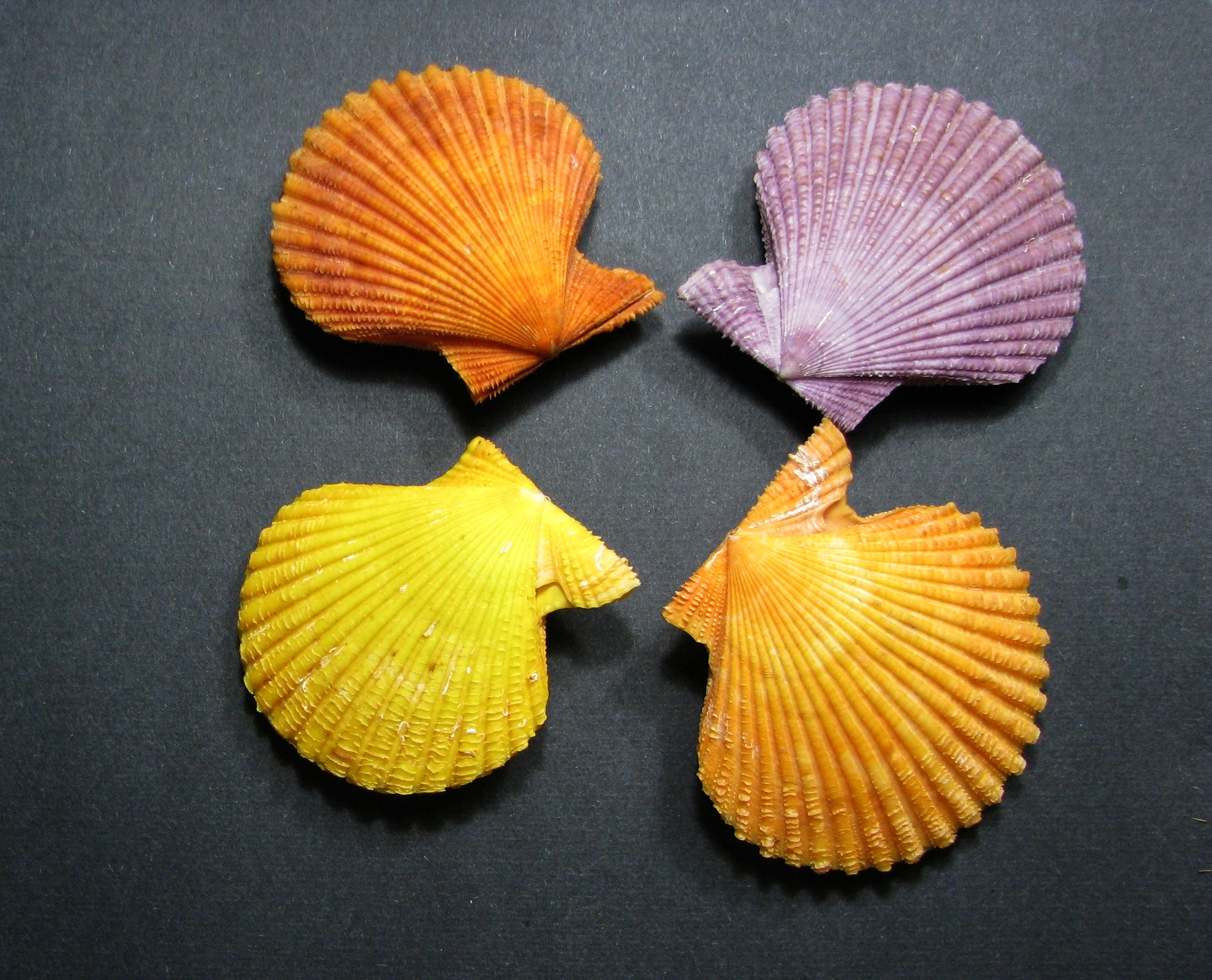 Слика од <i>Mimachlamys crassicostata</i> (Sowerby II 1842)