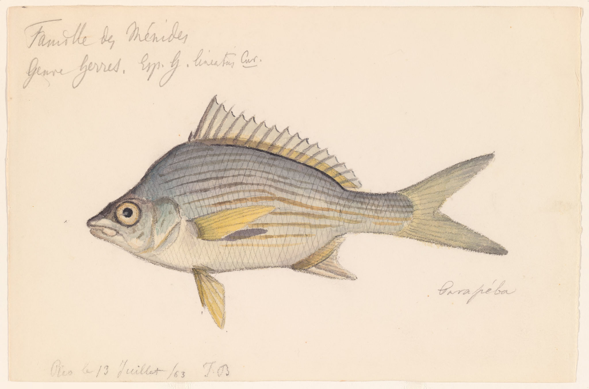 Image of <i>Gerres lineatus</i>