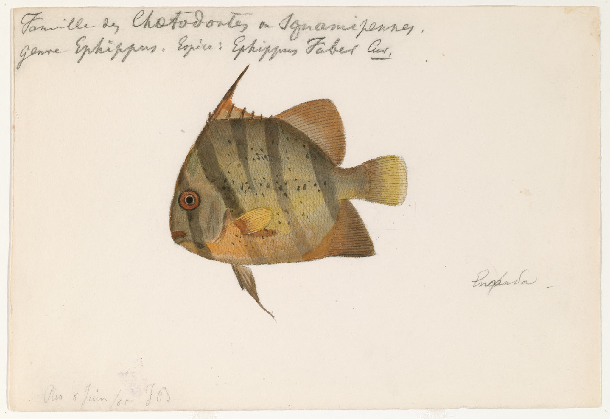 Image of <i>Ephippus faber</i>