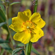 Image of Clustered Rock-rose