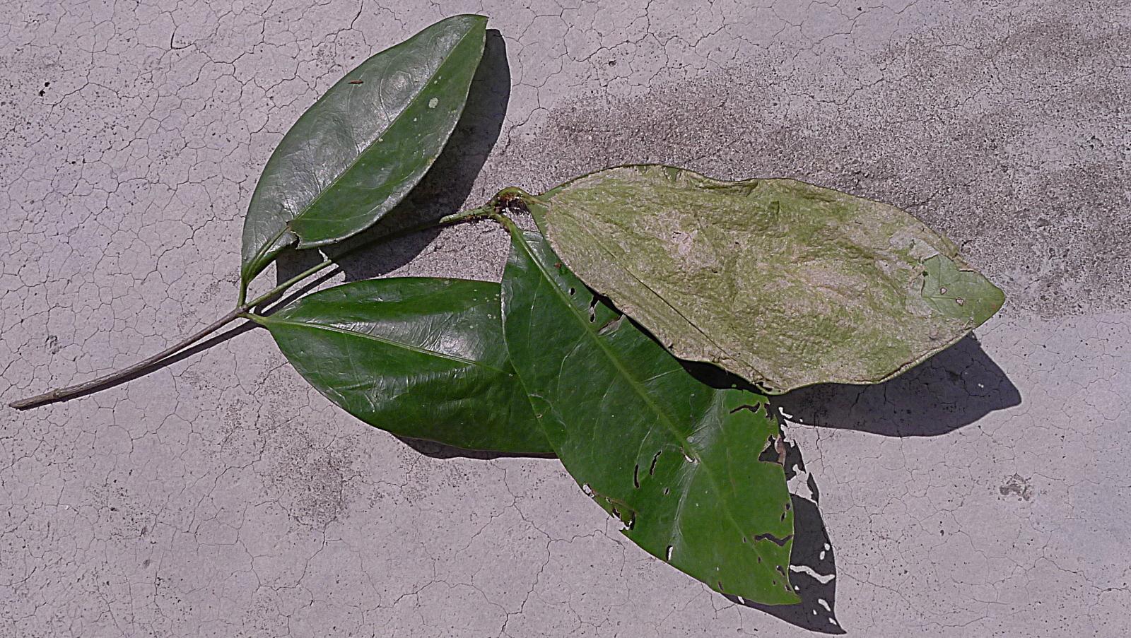 Image of <i>Leipomeles dorsata</i>
