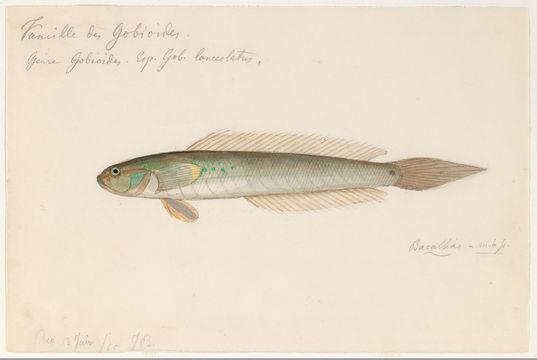 Image of <i>Gobius lanceolatus</i> Sadelin & Alcenius 1819