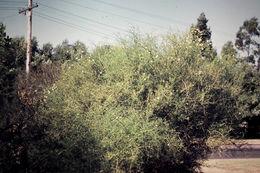 Image of Desert Lignum