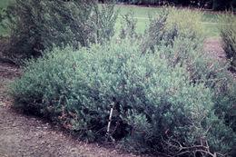 Image of Spotted Fuchsia-Bush