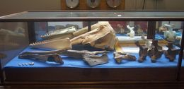 Image of <i>Delphinapterus leuca</i>