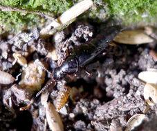 Image of <i>Quedius species</i>