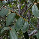 Image of <i>Hirtella glandulosa</i> Spreng.
