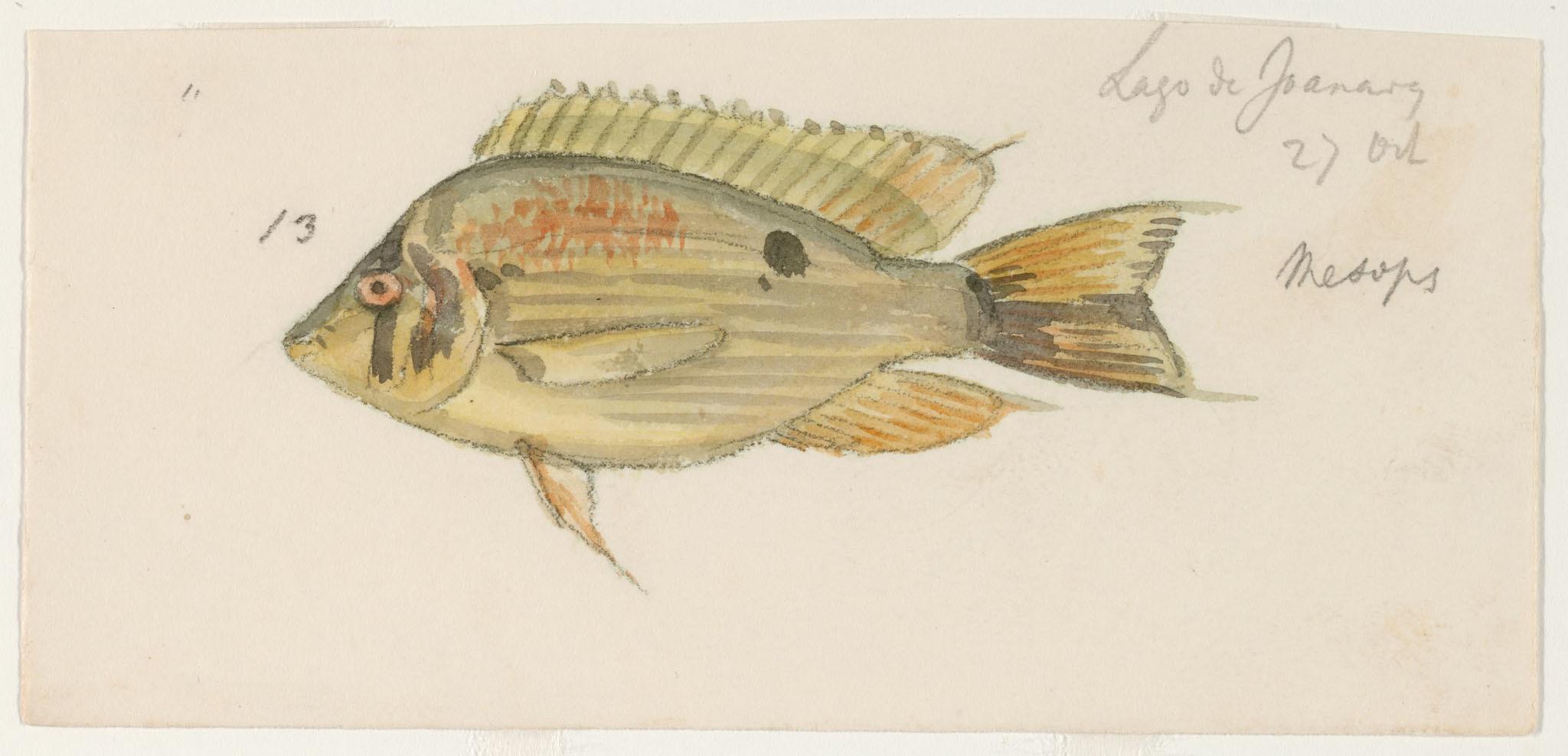 Image of Cupid cichlid