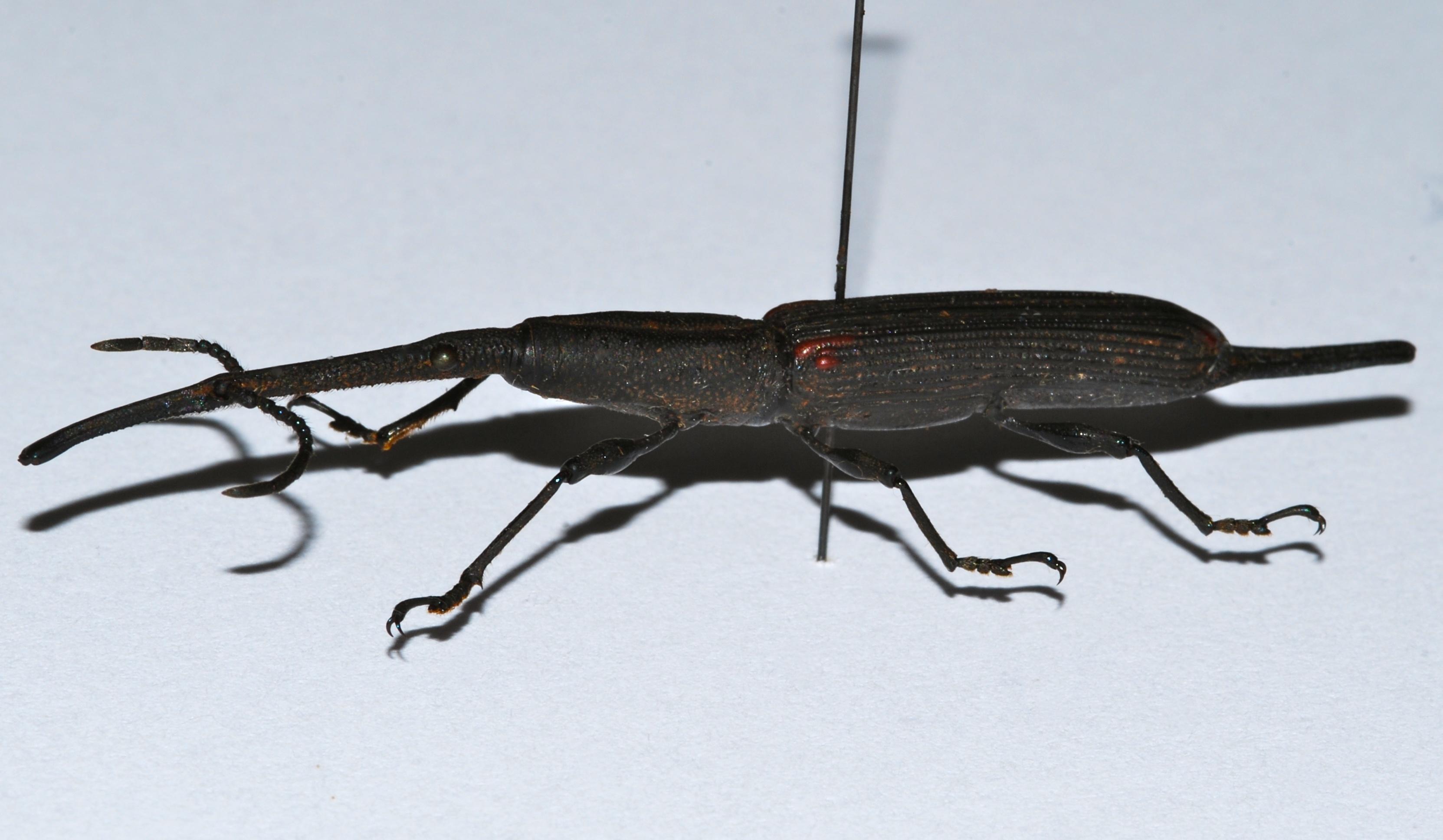 Image of <i>Zetophloeus pugionatus</i> (Chevrolat 1839)