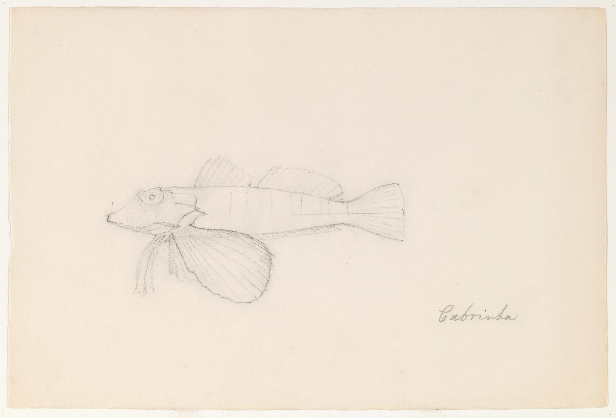 Image of <i>Chelidonichthys lastoviza</i>