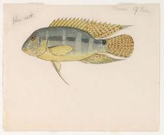 Image of <i>Aequidens mauesanus</i> Kullander 1997