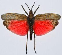 Image of Rainbow Milkweed Locust