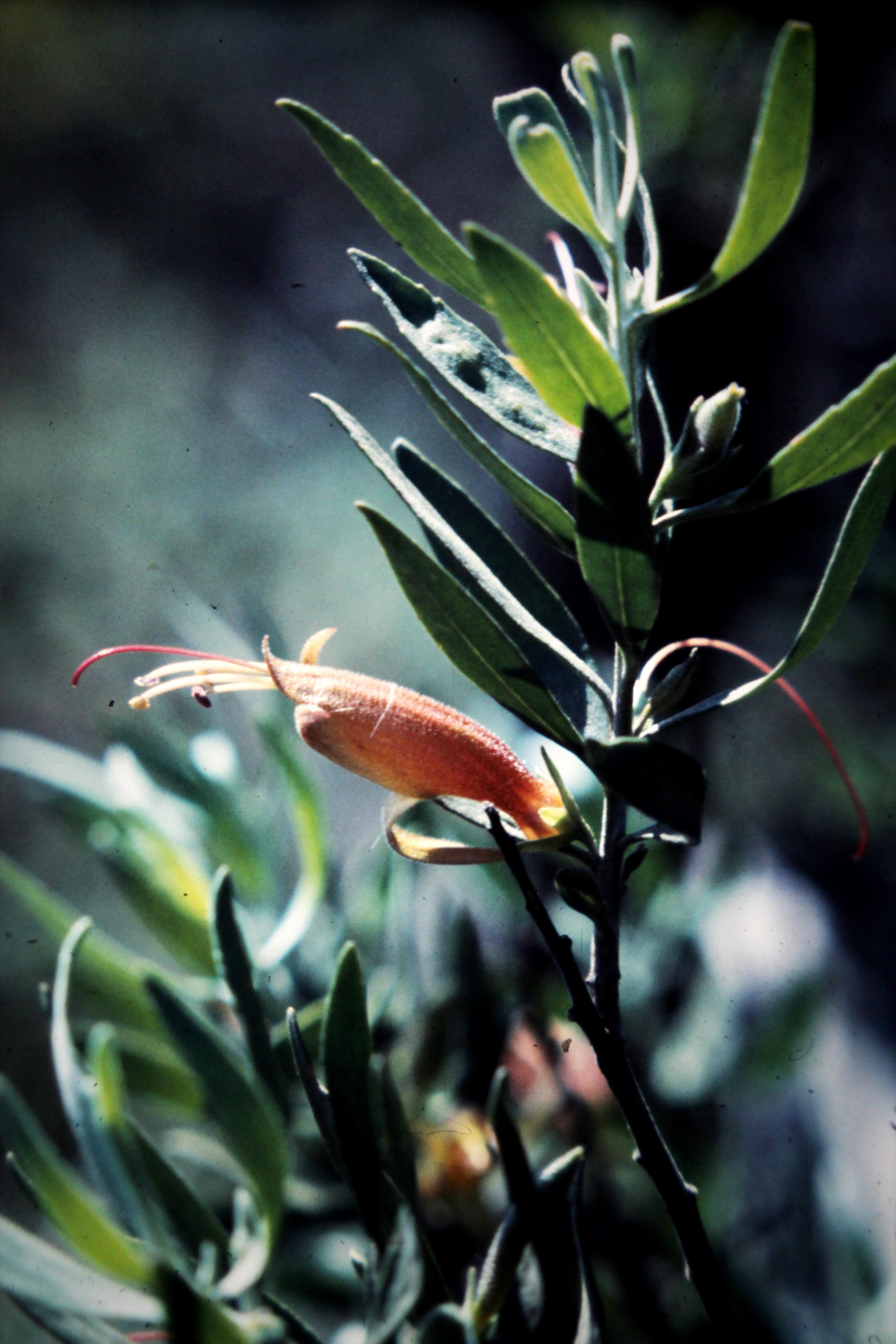 Image of Black Fuschia