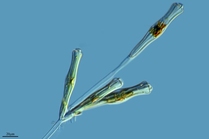 Image of <i>Gomphonema acuminatum</i>