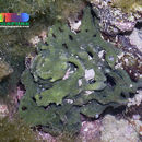 Image of <i>Ceratodictyon spongiosum</i>
