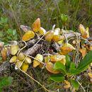 Image of <i>Dischidia rafflesiana</i>