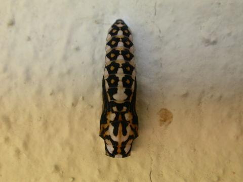 Image of Garden Acraea