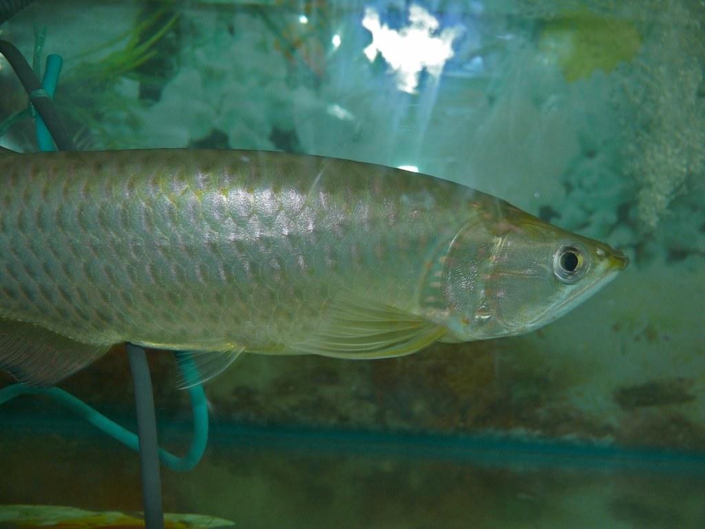 Image of Asian Arowana