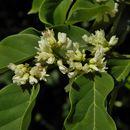 صورة <i>Dalbergia ecastaphyllum</i> (L.) Taub.