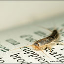 Image of silverfish