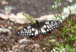 Image of Dainty Swallowtail