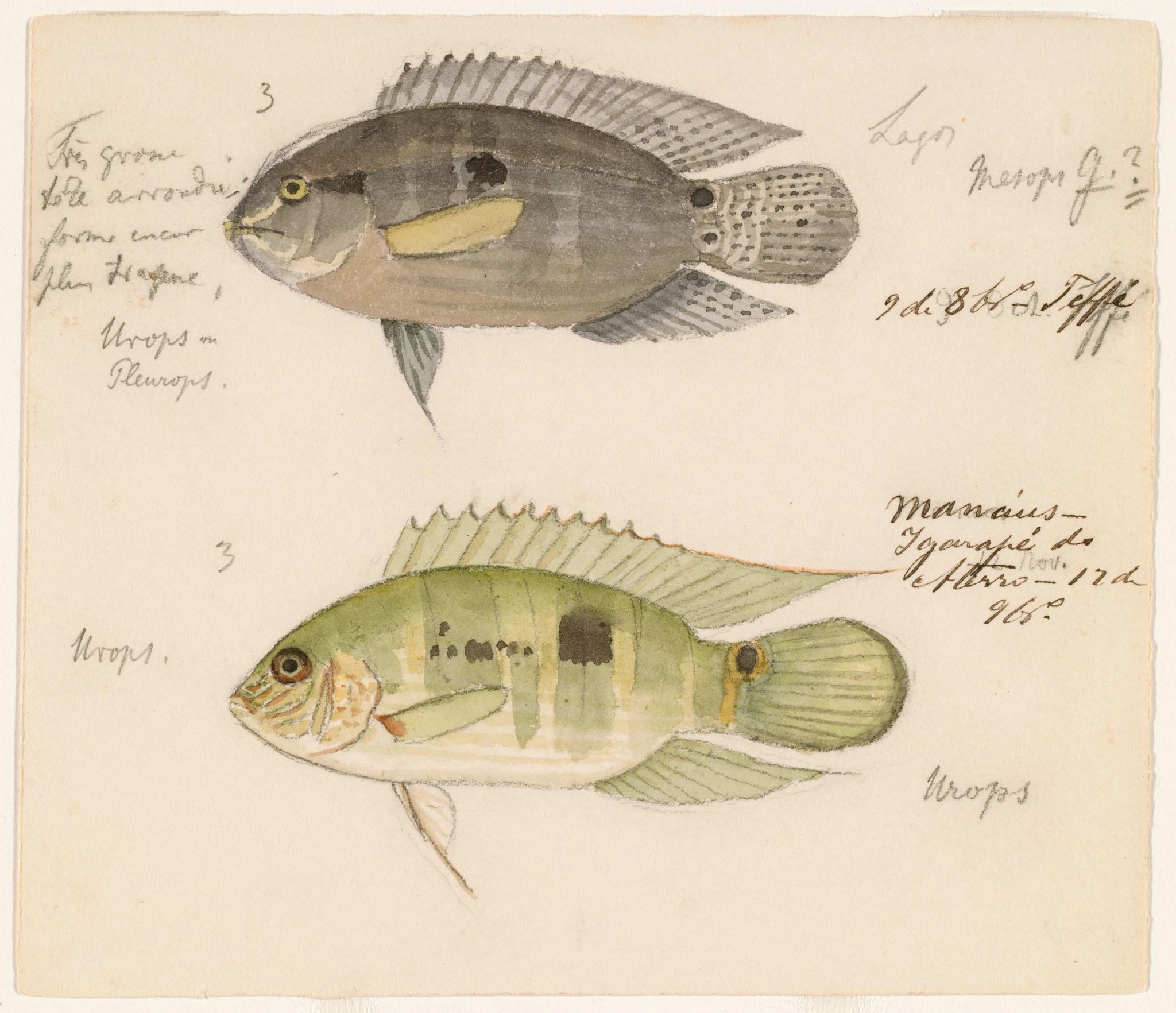 Image of <i>Aequidens pallidus</i> (Heckel 1840)