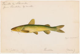 Image of Madamango sea catfish