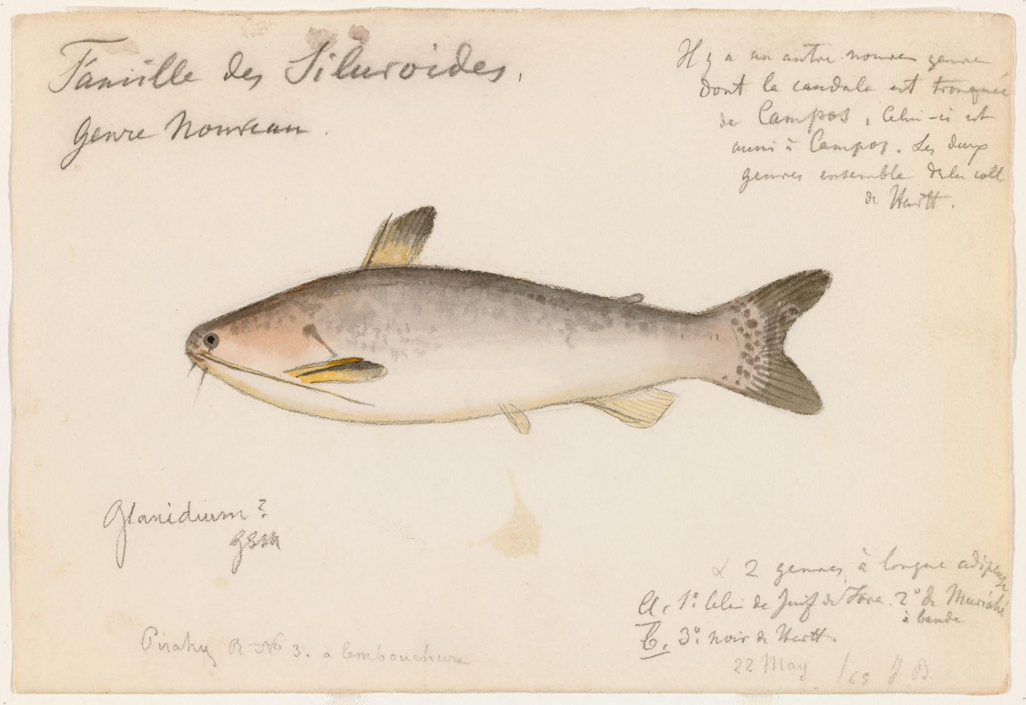 Image of <i>Glanidium melanopterum</i> Miranda Ribeiro 1918